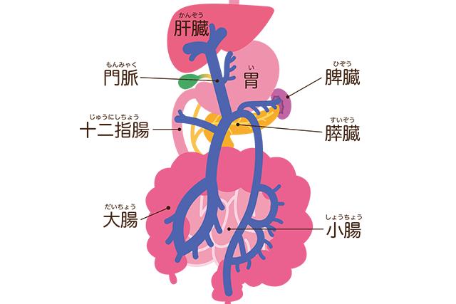 消化器官のイメージ